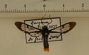 Phoenicoprocta vacillans mâle
