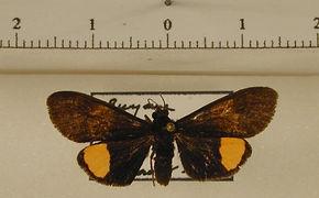 Virbia elisca mâle