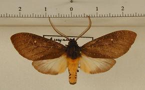Sychesia dryas dryas mâle