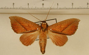 Strophocerus albonotata mâle