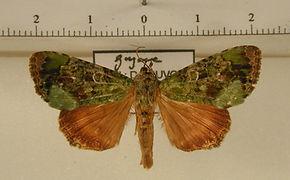 Neophaenis frauenfeldi mâle