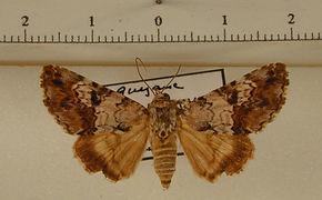 Coenipeta sp2 mâle