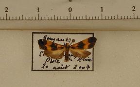 Lycomorphodes bipartita mâle