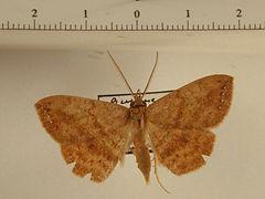 Gorgone sp. mâle