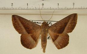 Epidromia saturior mâle