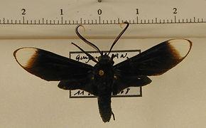 Timalus leucomela mâle