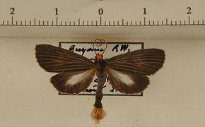 Scotura nigrata mâle