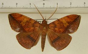 Gorgone augusta mâle