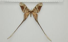 Copiopteryx semiramis semiramis mâle