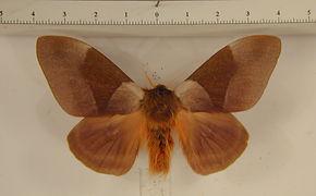 Dirphia avia mâle