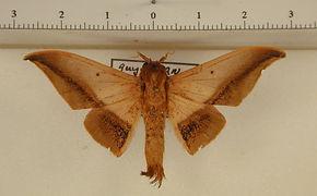 Cicinnus unalca mâle