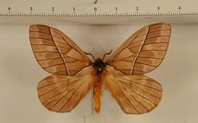Pseudodirphia agis agis mâle