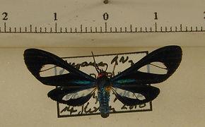 Euagra coelestina mâle
