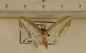 Dyspteris tenuivitta mâle