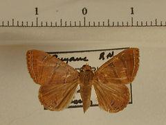 Eulepidotis caeruleilinea mâle