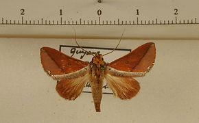 Strophocerus orbipunctata mâle