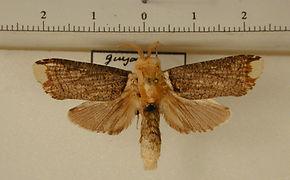 Magulacra nigripennata mâle