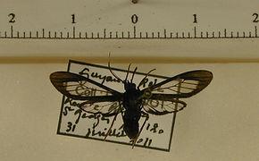 Ecdemus hypoleucus mâle