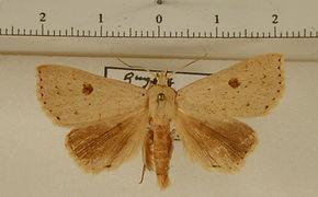 Herminodes xanthipterygia mâle