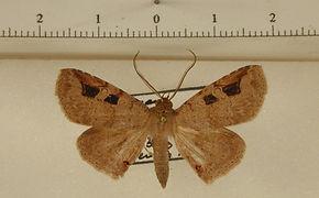 Triommatodes aequalipunctata mâle