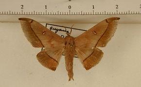 Psychocampa bibula mâle