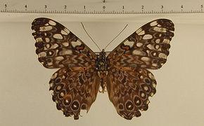 Hamadryas feronia feronia mâle