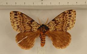 Dirphia radiata mâle
