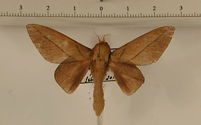 Citioica guyanensis mâle