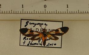 Dycladia lucetius mâle