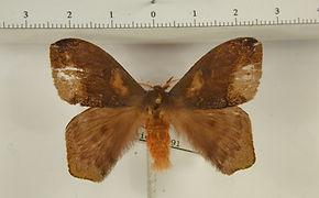 Hylesia aeneides mâle