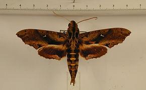 Hemeroplanes ornatus mâle