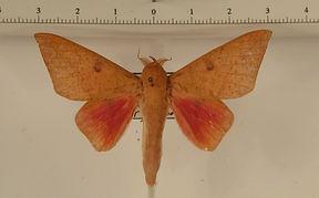 Adeloneivaia pallida mâle