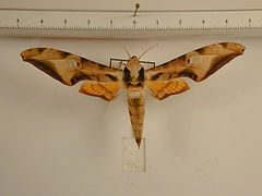 Protambulyx goeldii mâle