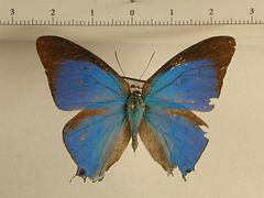 Pseudolycaena marsyas mâle