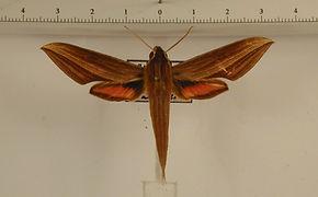 Xylophanes neoptolemus mâle