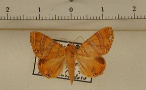 Eulepidotis corrina mâle