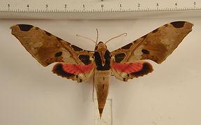 Adhemarius palmeri mâle