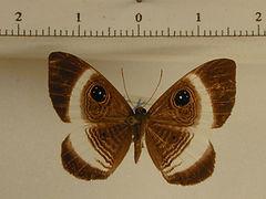 Mesosemia thymetus thymetus mâle