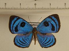 Semomesia croesus croesus mâle