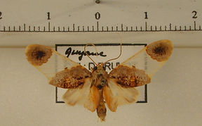 Thyromolis pythia mâle