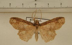 Erebostrota stenelea mâle