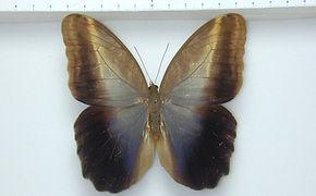 Caligo teucer teucer mâle