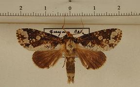 Disphragis tharis mâle