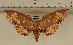 Draconia denticulata mâle