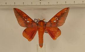 Adelowalkeria plateada mâle