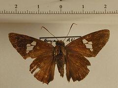 Cephise cephise mâle