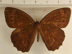 Posttaygetis penelea penelea mâle
