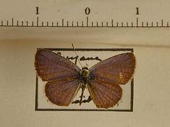 Polyommatine sp. mâle