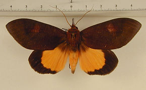 Graphigona regina mâle