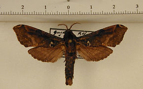 Langsdorfia franckii mâle